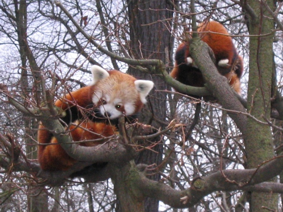 Ailurus Fulgens au Tierpark de Berlin en 2006